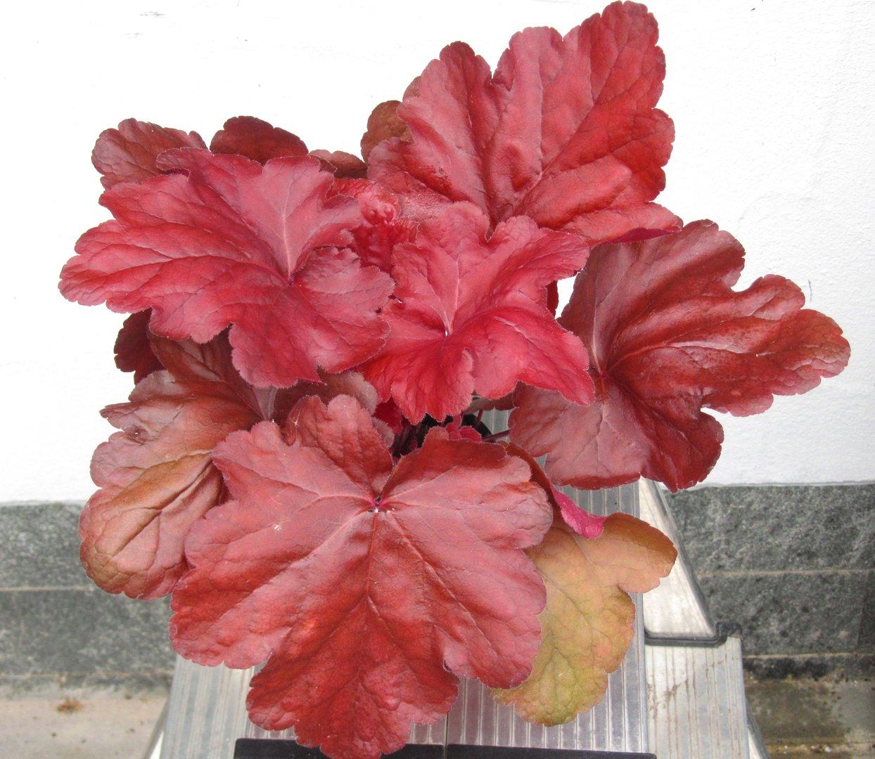 heuchera cultivare hybrida 39 fire alarm 39 purpurgl ckchen pflanzen versand f r die besten. Black Bedroom Furniture Sets. Home Design Ideas