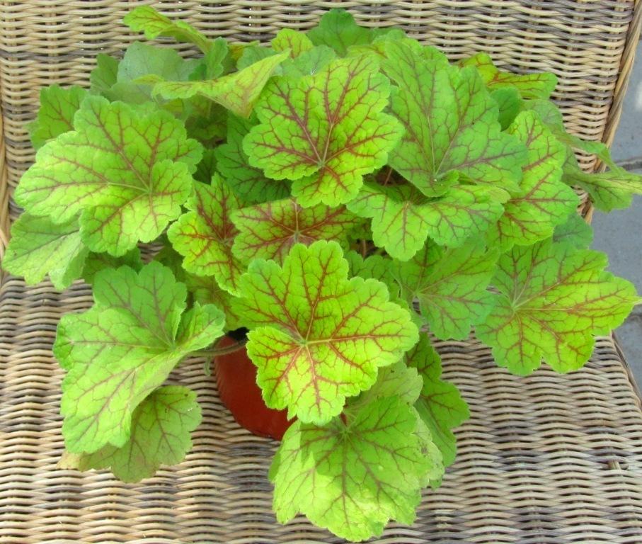 Heuchera cultivare hybrida 39 electra 39 pflanzenversand for Pflanzen bestellen berlin