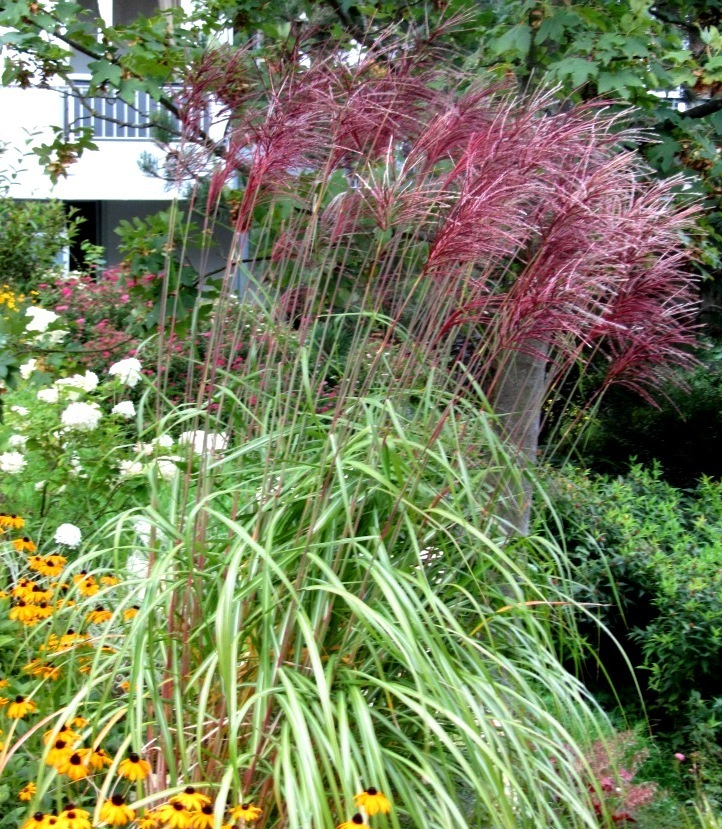 miscanthus sinensis red chief chinaschilf gr ser. Black Bedroom Furniture Sets. Home Design Ideas