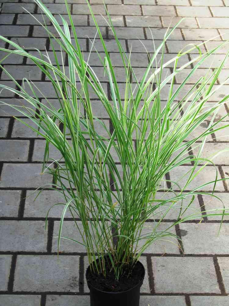 Gräser Pflanzen miscanthus sinensis gracillimus chinaschilf gräser pflanzen