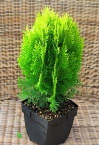 zwergkoniferen koniferen kaufen pflanzen versand harro 39 s pflanzenwelt kaufen bestellen online. Black Bedroom Furniture Sets. Home Design Ideas