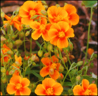 Helianthemum orange - Sonnenröschen