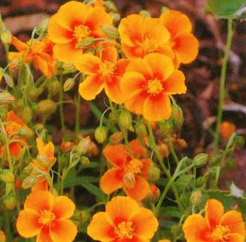 Helianthemum orange - Sonnenröschen