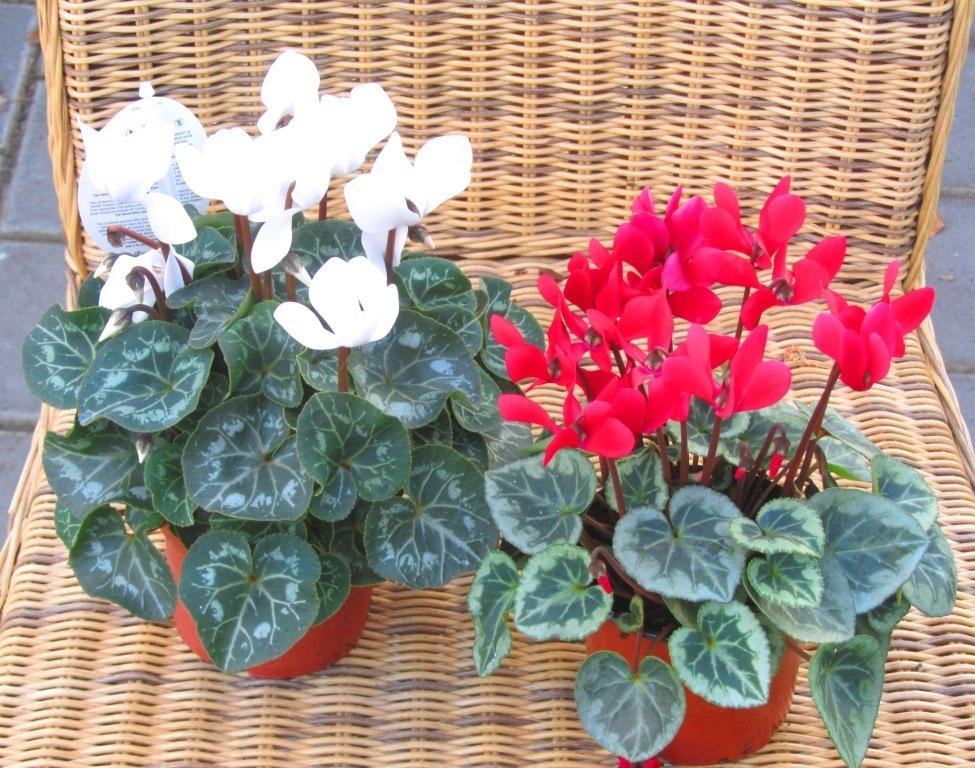 cyclamen persicum alpenveilchen pflanzen versand f r die besten winterharten balkonpflanzen. Black Bedroom Furniture Sets. Home Design Ideas