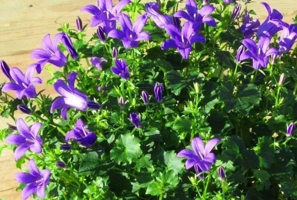 campanula poscharskyana h ngepolster glockenblume steingartenpflanzen bei harro 39 s pflanzenwelt. Black Bedroom Furniture Sets. Home Design Ideas