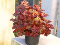 Heuchera cultivare Hybrida 'Big Top Gold'' - Purpurglöckchen