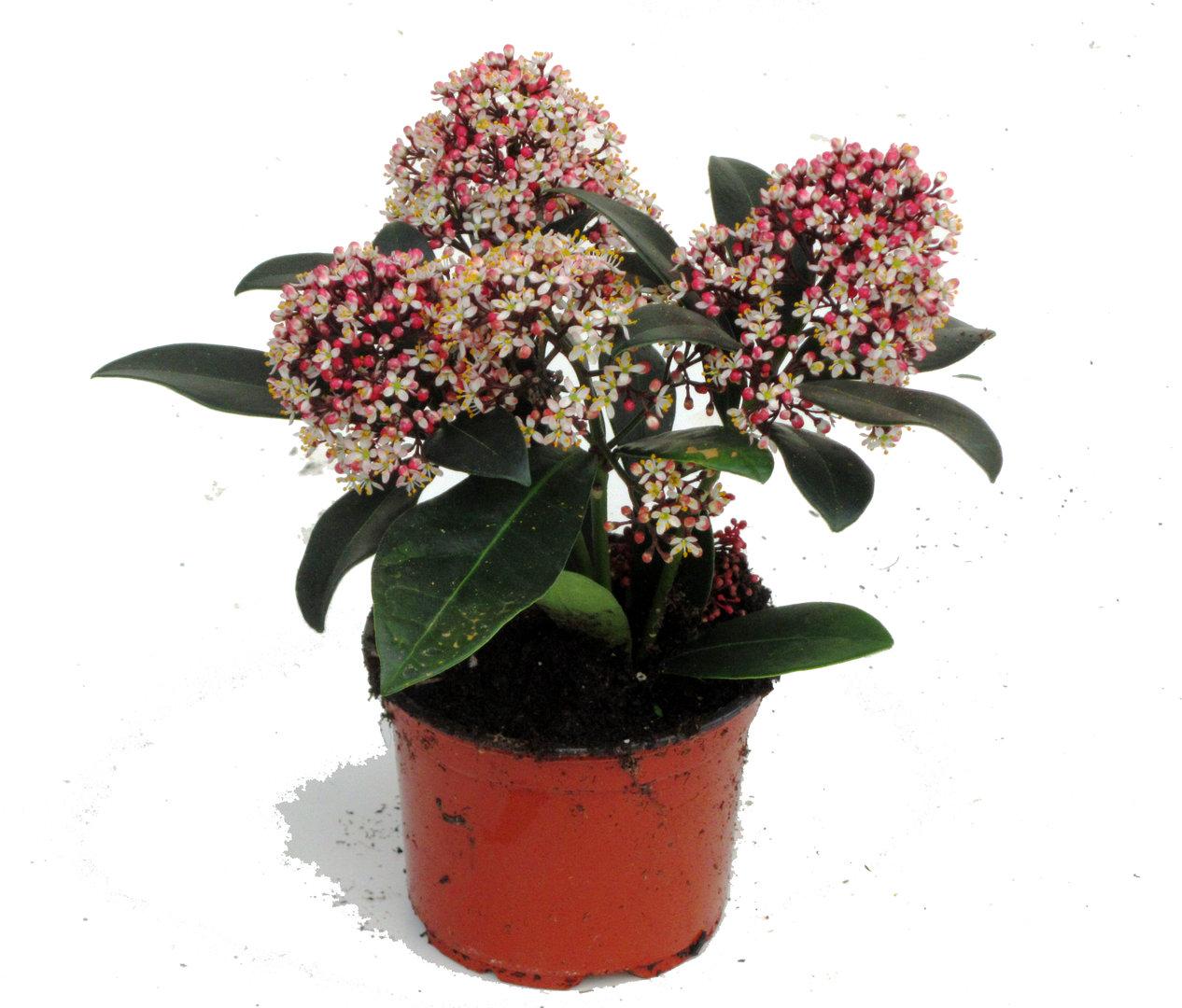 skimmia japonica rubella japanische bl tenskimmie 11 cm topf pflanzen versand harro 39 s. Black Bedroom Furniture Sets. Home Design Ideas