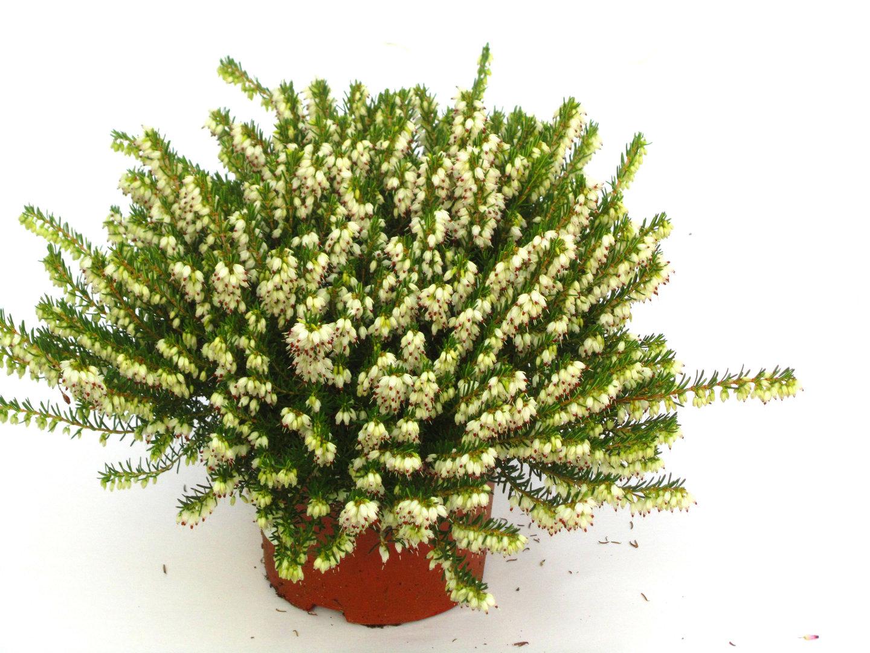 erica darleyensis englische erika versand g rtnerei harro 39 s pflanzenwelt kaufen bestellen online. Black Bedroom Furniture Sets. Home Design Ideas