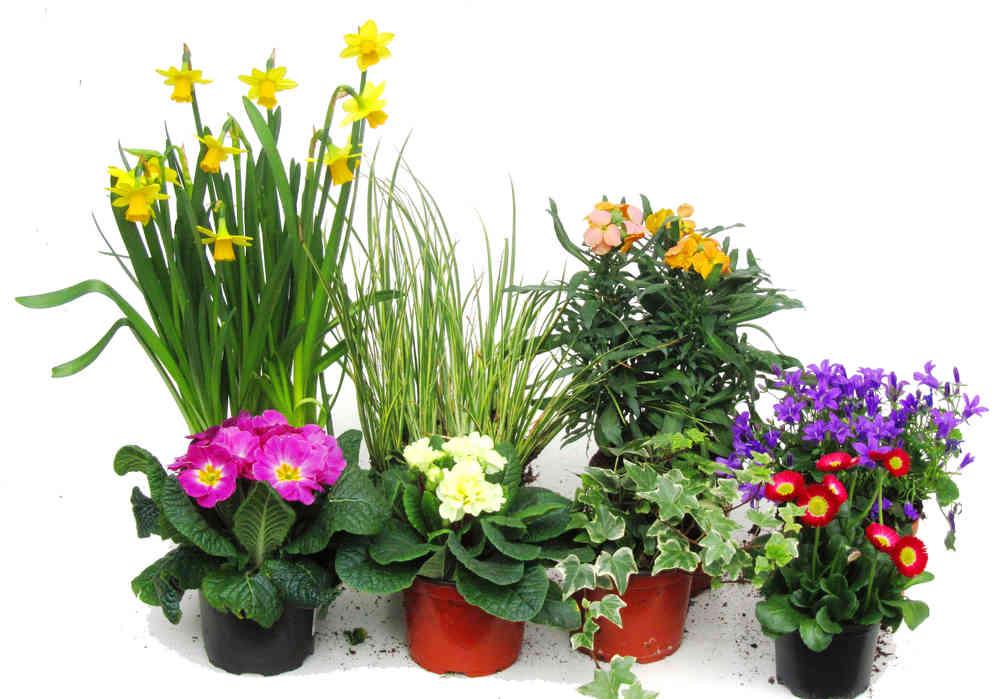 Pflanzen-Set für 80 cm Balkonkästen-Frühling - Pflanzen Versand ...
