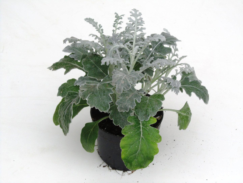 senecio cineraria silberblatt kaufen harro 39 s pflanzenwelt bestellen online. Black Bedroom Furniture Sets. Home Design Ideas
