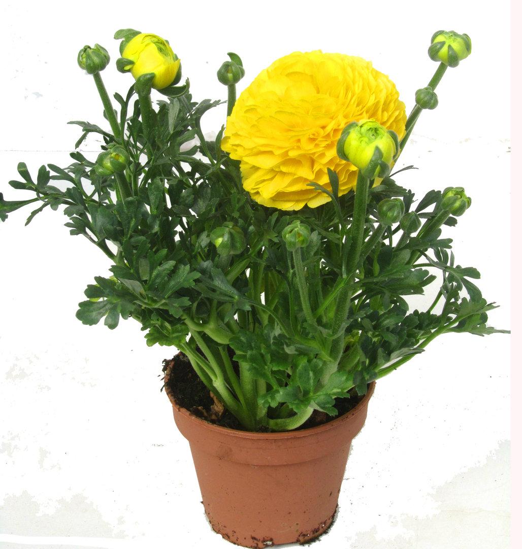 ranunculus hybride gelb ranunkeln fr hbl her pflanzen versand f r die besten winterharten. Black Bedroom Furniture Sets. Home Design Ideas