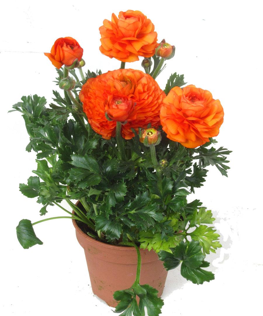 ranunculus hybride ranunkel pflanzenversand harro 39 s pflanzenwelt kaufen bestellen online. Black Bedroom Furniture Sets. Home Design Ideas