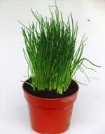 kr uterpflanzen pflanzen versand harro 39 s pflanzenwelt kaufen bestellen online. Black Bedroom Furniture Sets. Home Design Ideas