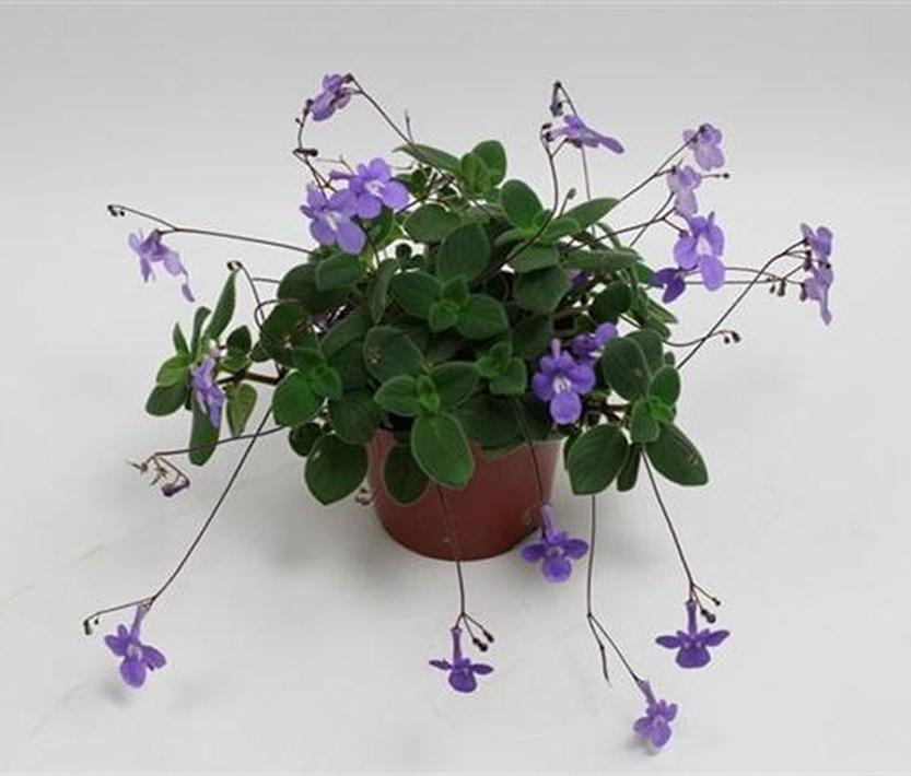 streptocarpus saxorum blauer paul pflanzen versand f r die besten winterharten. Black Bedroom Furniture Sets. Home Design Ideas