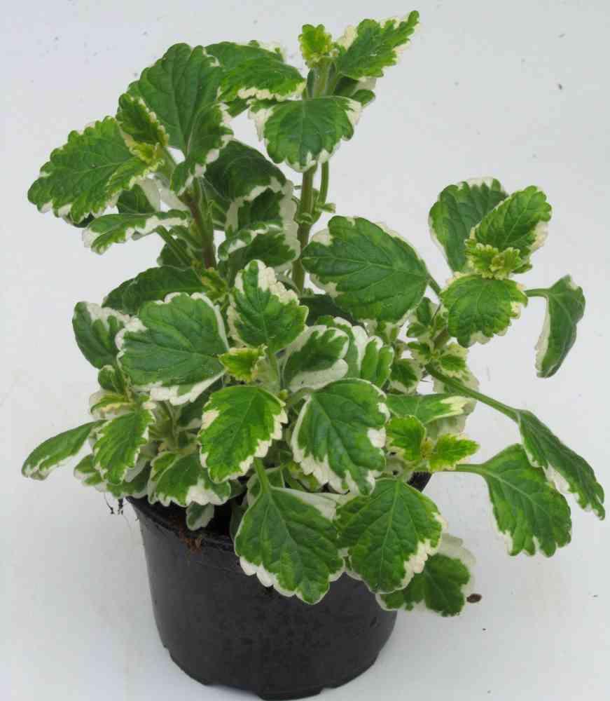 Plectranthus Weihrauchpflanze Pflanzen Versand Harro s