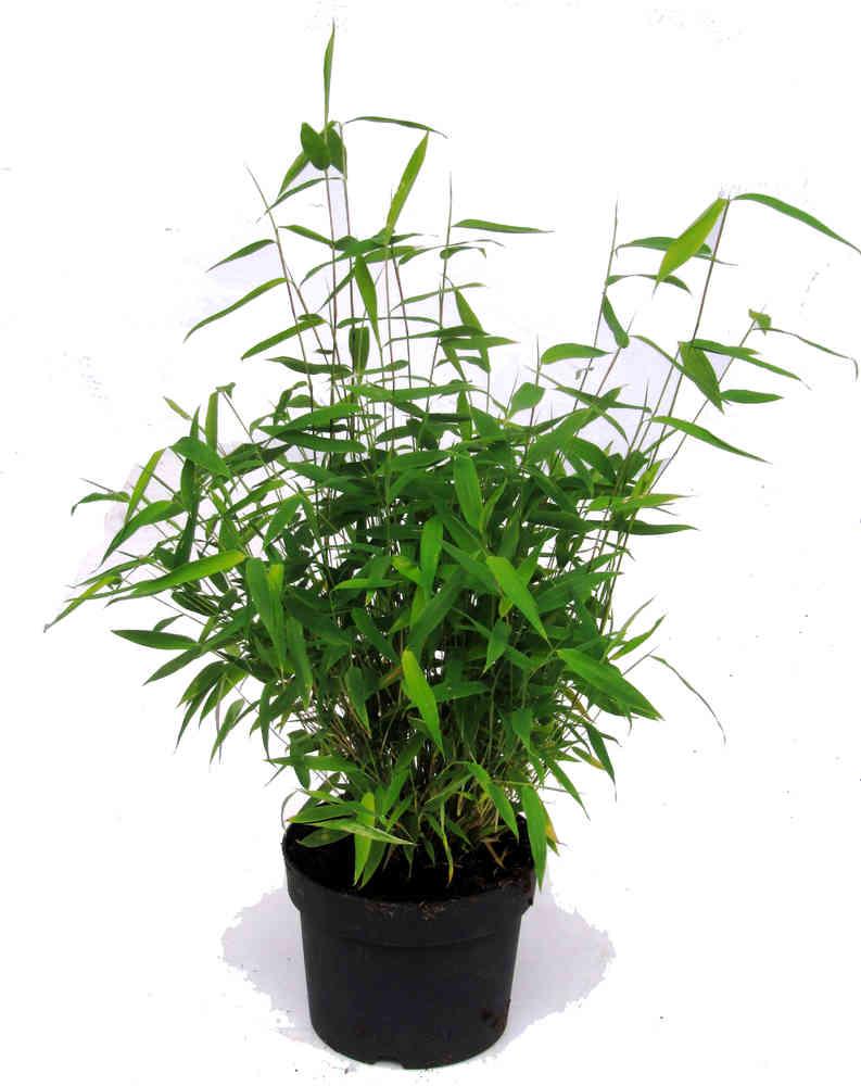 Fargesia Murielae Muriel Bambus Pflanzen Versand Fur Die Besten