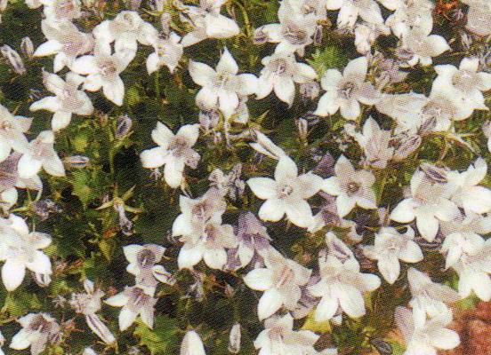 campanula poscharskyana wei h ngepolster glockenblume steingartenpflanzen bei harro 39 s. Black Bedroom Furniture Sets. Home Design Ideas