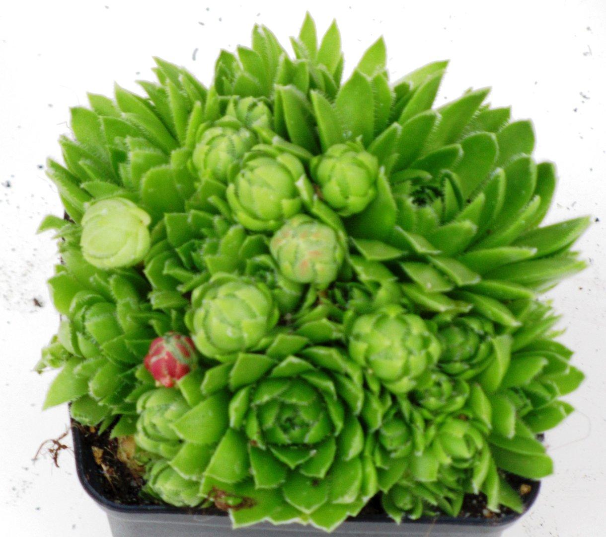 sempervivum soboliferum hauswurz kaufen pflanzen versand. Black Bedroom Furniture Sets. Home Design Ideas