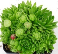 kranz bepflanzt mit sempervivum pflanzen versand harro 39 s pflanzenwelt kaufen bestellen online. Black Bedroom Furniture Sets. Home Design Ideas
