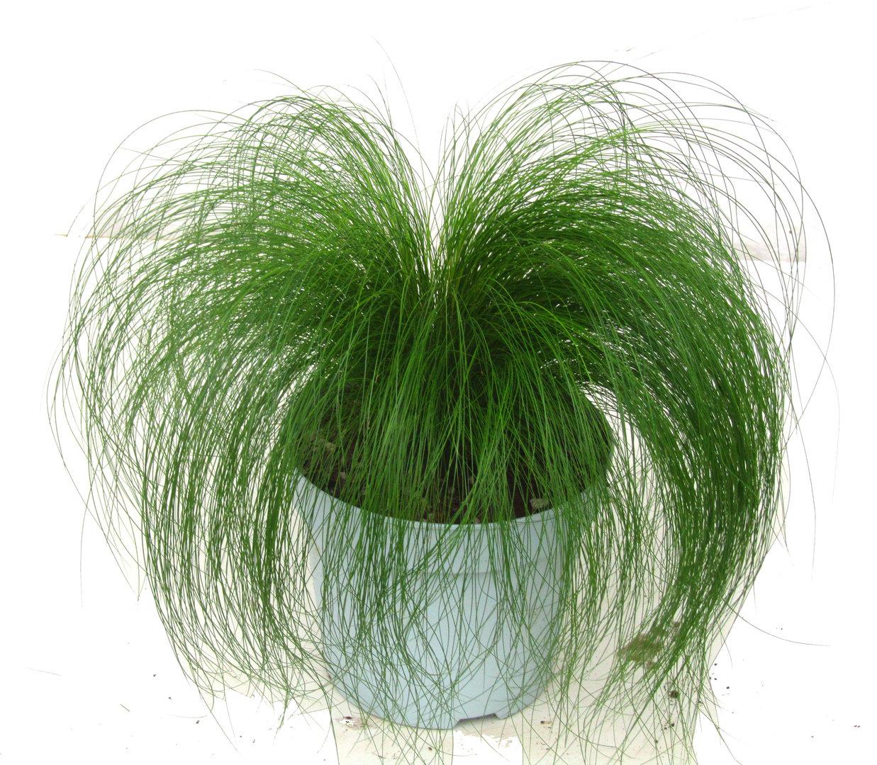 stipa engelshaar ponyschweif gr ser pflanzen versand harro 39 s pflanzenwelt kaufen. Black Bedroom Furniture Sets. Home Design Ideas
