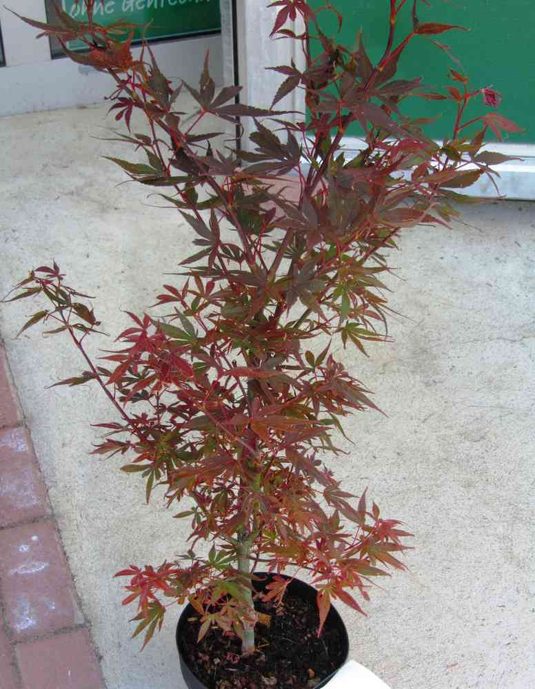 Atemberaubend Acer palmatum `Skeeter's Broom´ Japanischer Fächerahorn 19 cm Topf &DS_74
