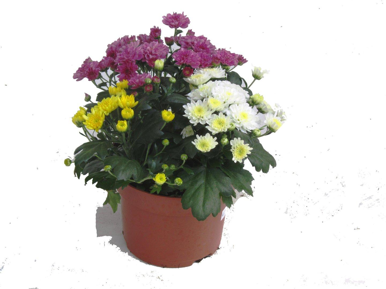 Chrysanthemen kaufen online Pflanzen Versand Harro s