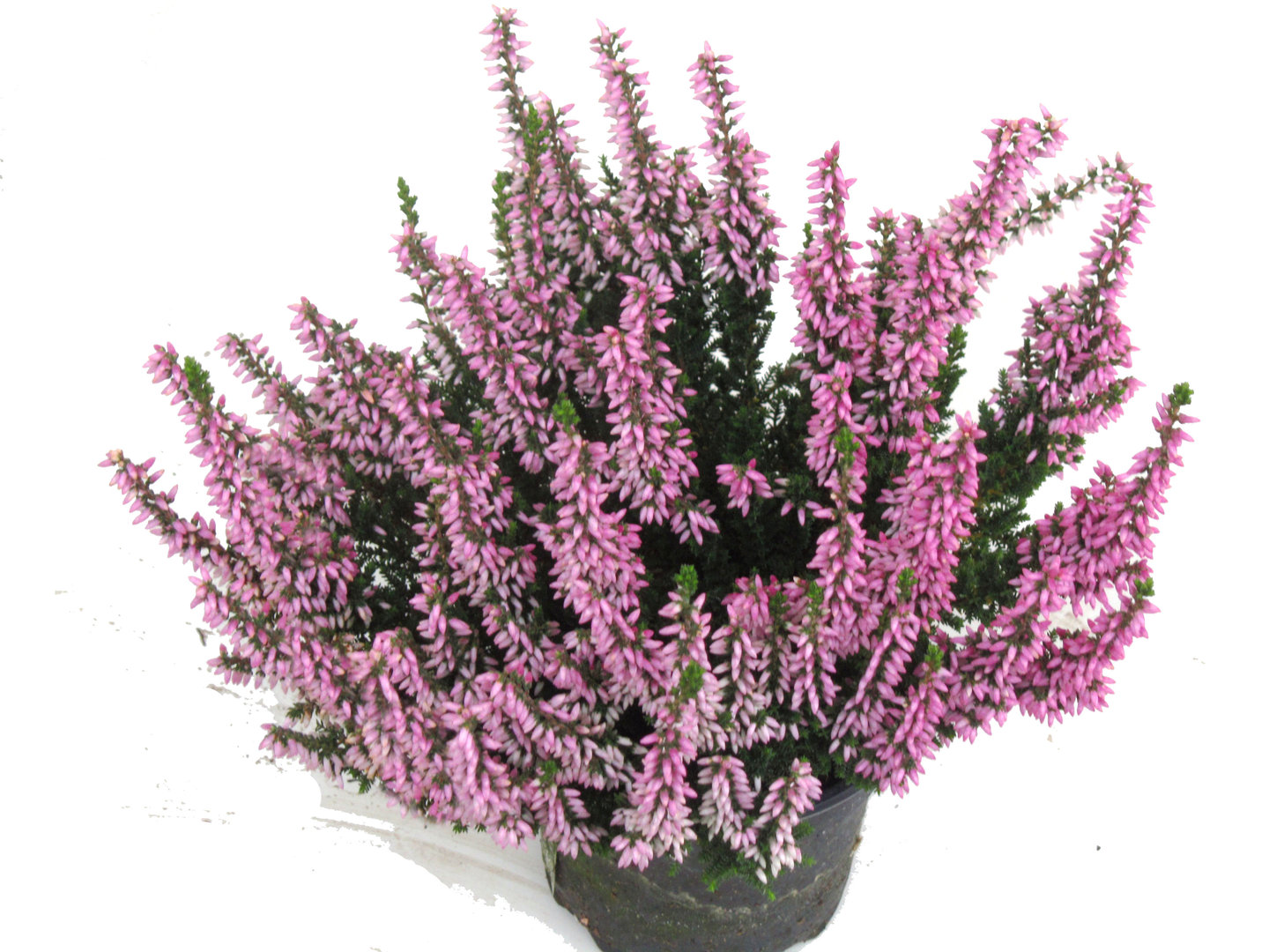 calluna vulgaris besenheide heidekraut rosa 10 cm topf pflanzen versand harro 39 s. Black Bedroom Furniture Sets. Home Design Ideas