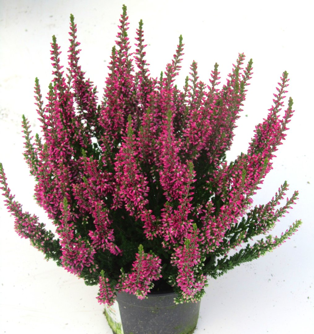 calluna vulgaris besenheide heidekraut rot 10 cm topf pflanzen versand harro 39 s pflanzenwelt. Black Bedroom Furniture Sets. Home Design Ideas