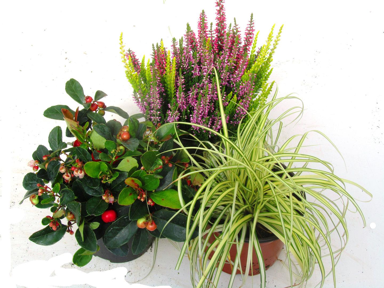 kleines buntes balkonpflanzen set f r balkonkasten 40 cm lang pflanzen versand f r die besten. Black Bedroom Furniture Sets. Home Design Ideas