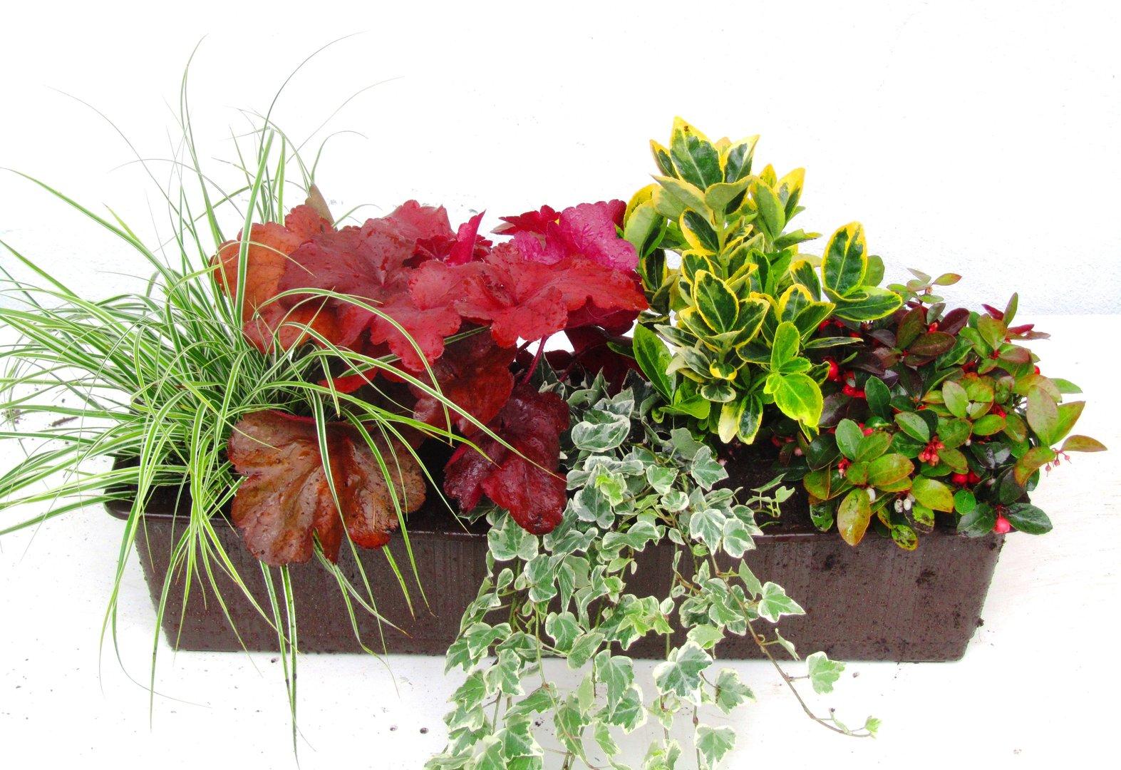 balkonpflanzen set f r balkonk sten 60 cm lang pflanzen. Black Bedroom Furniture Sets. Home Design Ideas