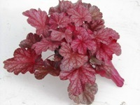 Heuchera cultivare Hybrida 'Beauty Dancer' - Purpurglöckchen