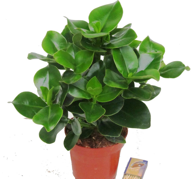 Grünpflanzen Green Plants Zimmerpflanzen: Clusea Rosea Zimmerpflanzen Kaufen! Herausragende Qualität