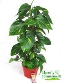 Schattige Zimmerpflanzen zimmerpflanzen schatten pflanzen versand für die besten