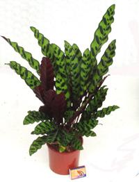 Zimmerpflanzen Schattig zimmerpflanzen schatten pflanzen versand für die besten