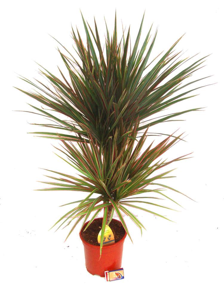 Dracaene Marginata Bicolor Drachenbaum Zimmerpflanzen Kaufen