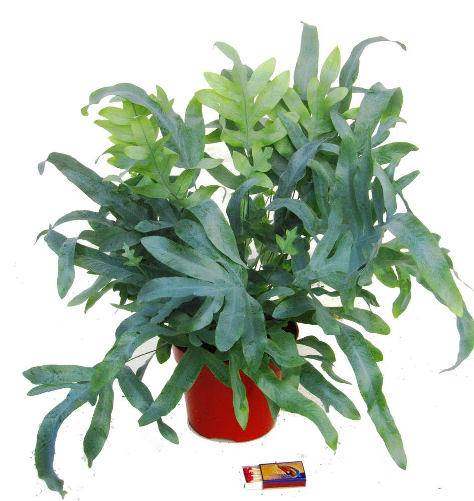 Phlebonium Blue Star Blaufarn Zimmerpflanzen Kaufen