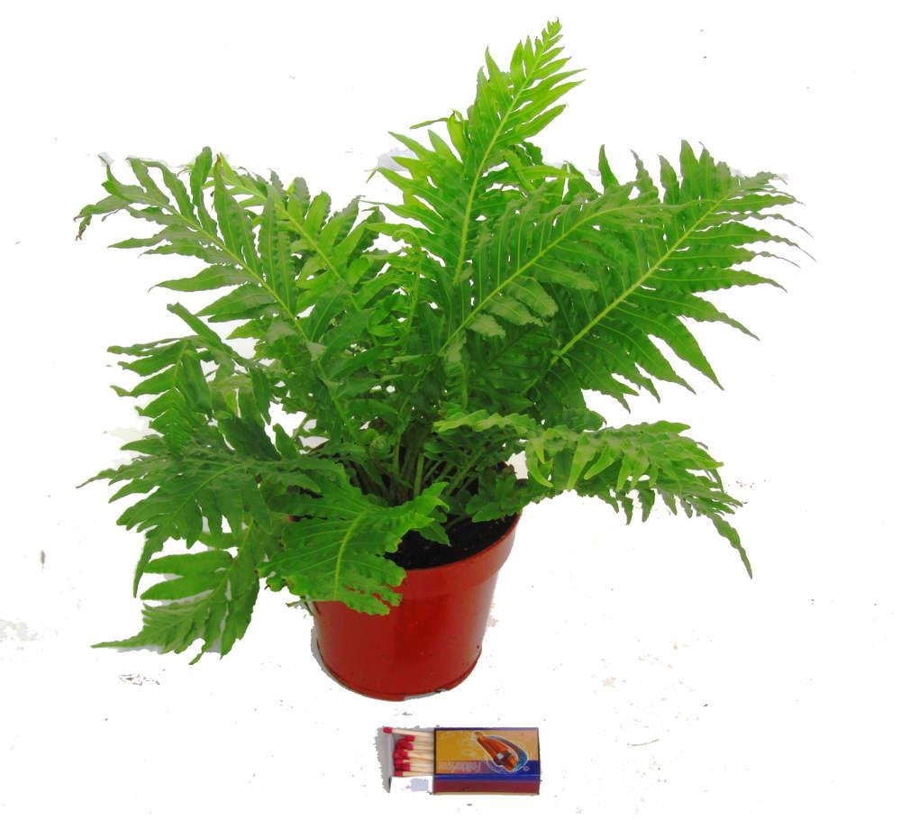 Nephrolepis Green Lady Grunfarn Zimmerpflanzen Kaufen