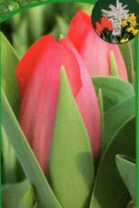 tulpe wei gef llt pflanzen versand harro 39 s pflanzenwelt kaufen bestellen online. Black Bedroom Furniture Sets. Home Design Ideas