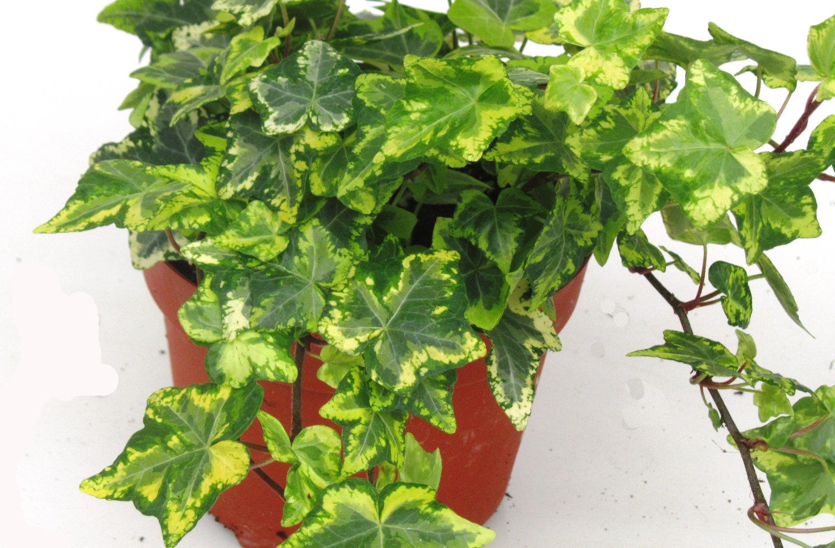 Efeu Als Zimmerpflanze hedera helix 39 gold kolibri 39 efeu pflanzen versand für die besten winterharten balkonpflanzen