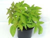 balkonpflanzen schatten online kaufen kr ftige pflanzen. Black Bedroom Furniture Sets. Home Design Ideas