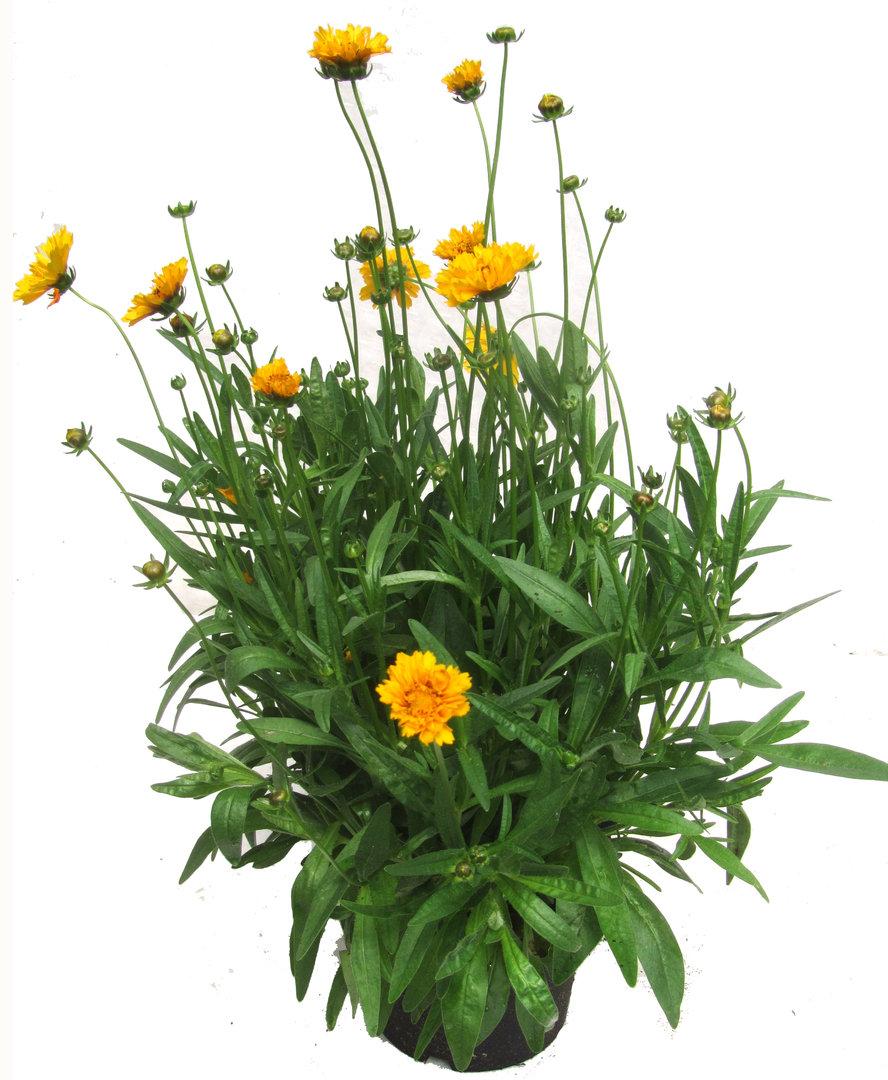 pflanzen versand harro 39 s pflanzenwelt m dchenauge online pflanzenshop. Black Bedroom Furniture Sets. Home Design Ideas