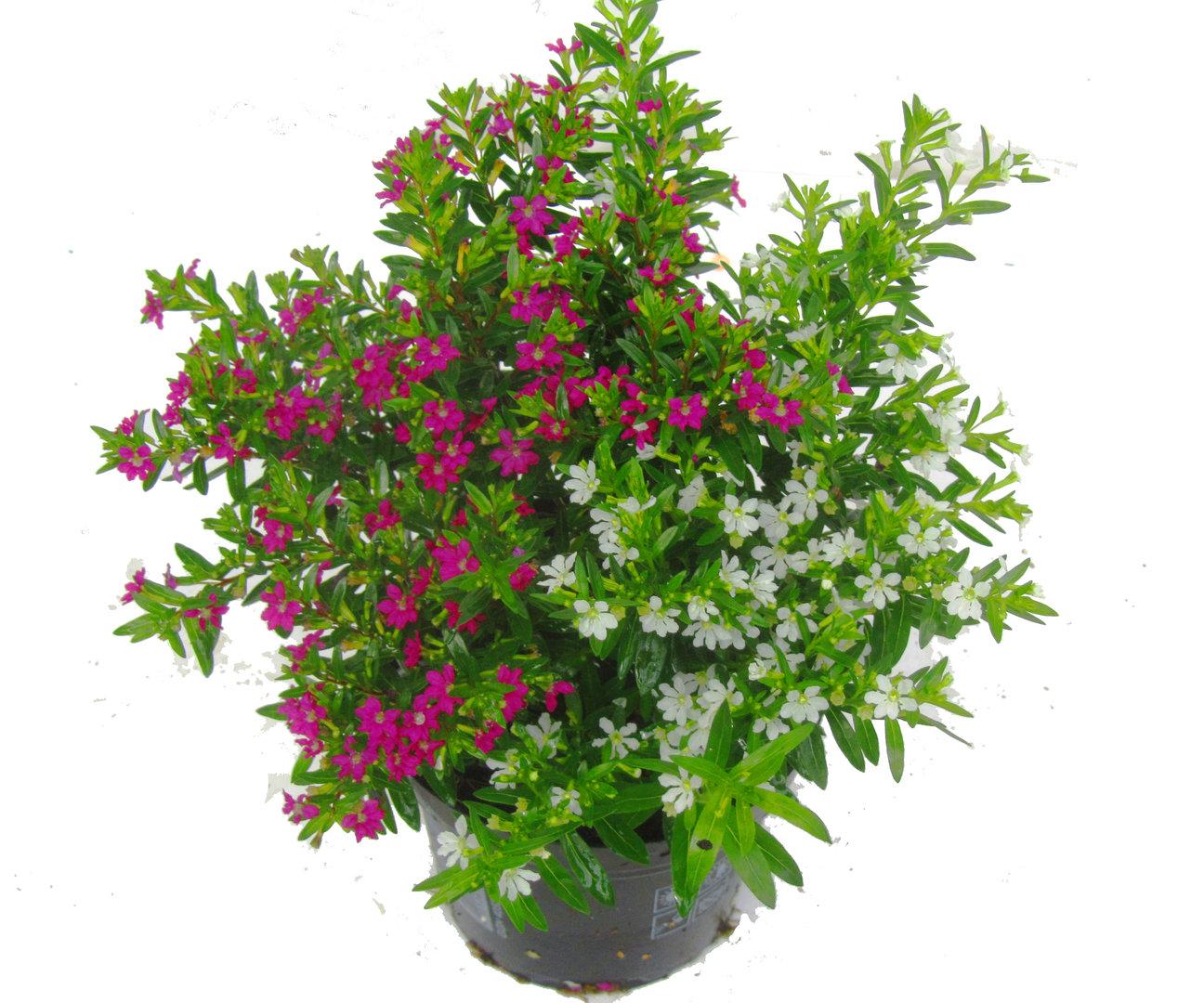 cuphea jap scheinmyrthe kaufen pflanzen versand harro 39 s pflanzenwelt kaufen bestellen online. Black Bedroom Furniture Sets. Home Design Ideas