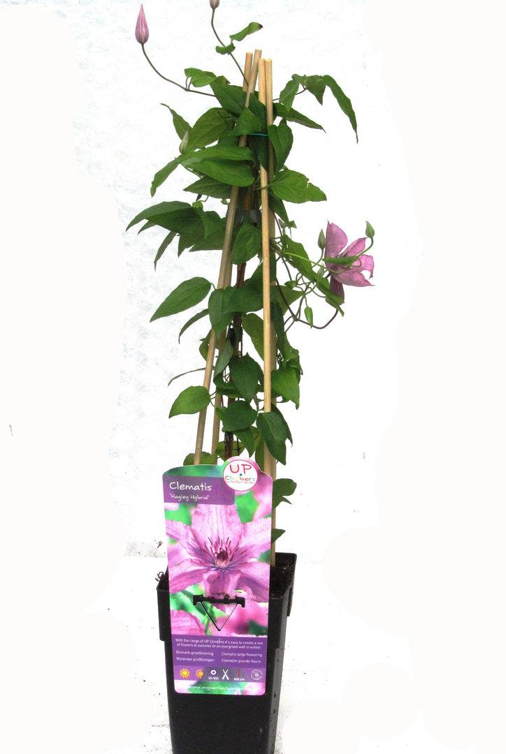 Clematis 39 hagley hybrid 39 waldrebe kaufen pflanzen for Pflanzen bestellen berlin
