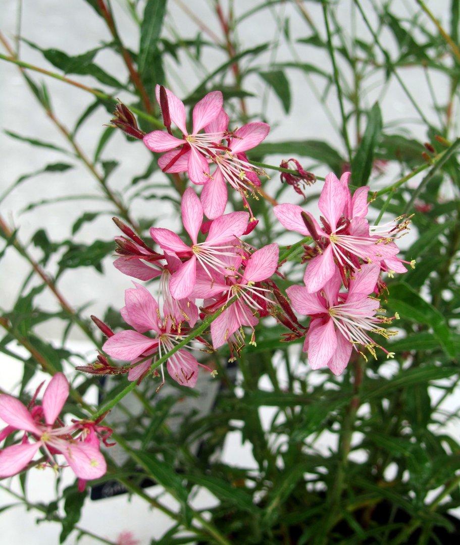Gaura lindheimerii rosa - Pflanzen Versand Harro's