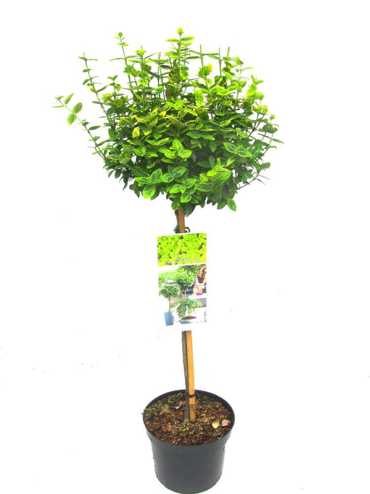 Stämmchen Euonymus Jap. \'Marieke\' - Pflanzenversand ,Kübelpflanzen ...