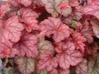 Heucherella   'Copper Cascade* - Purpurglöckchen