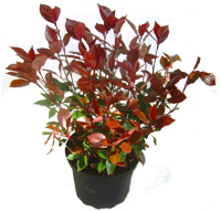 Photinia Fraseri 'Little Red Robin' - Kleine Glanzmispel