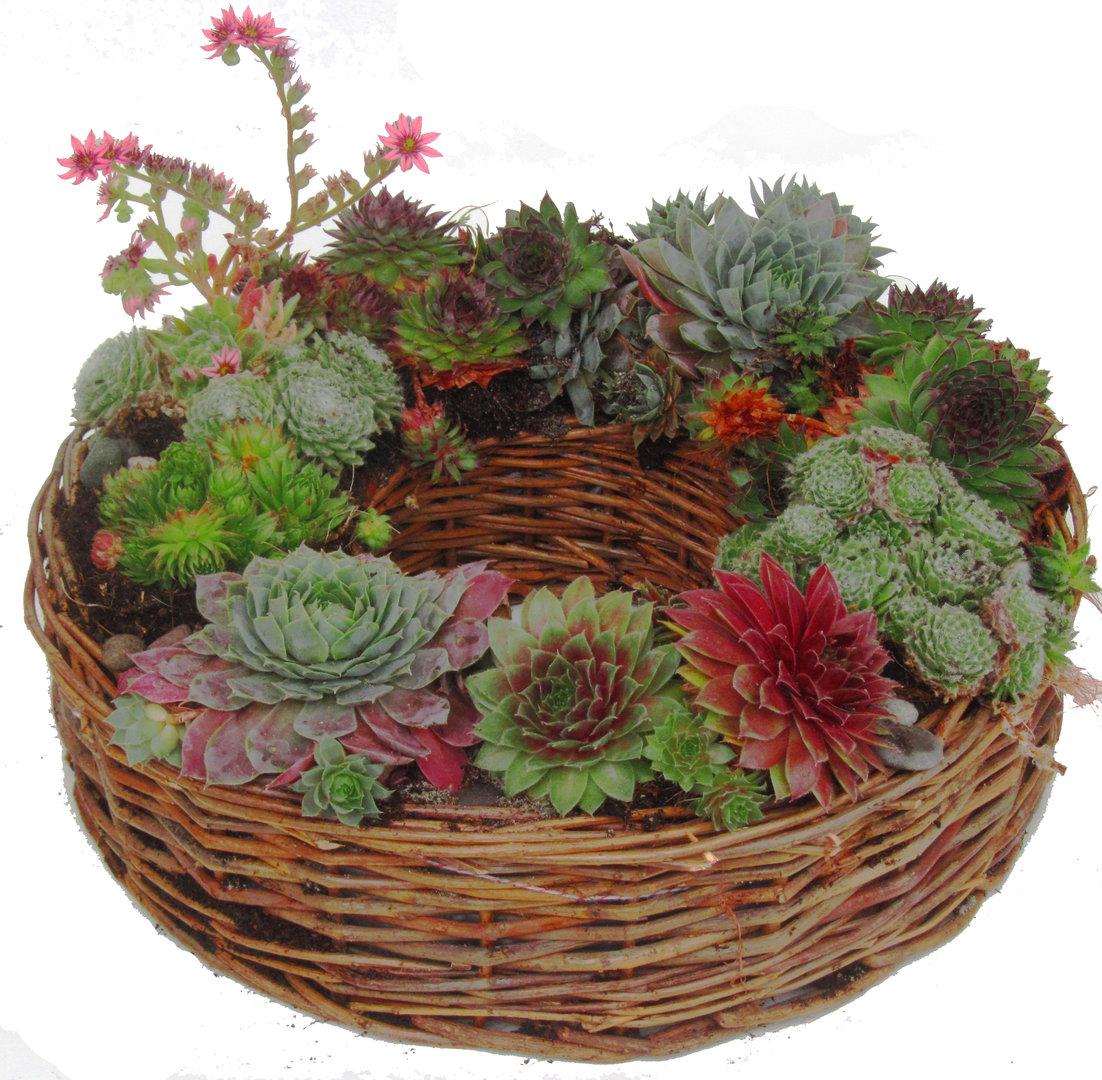 kranz bepflanzt mit sempervivum pflanzen versand harro 39 s. Black Bedroom Furniture Sets. Home Design Ideas