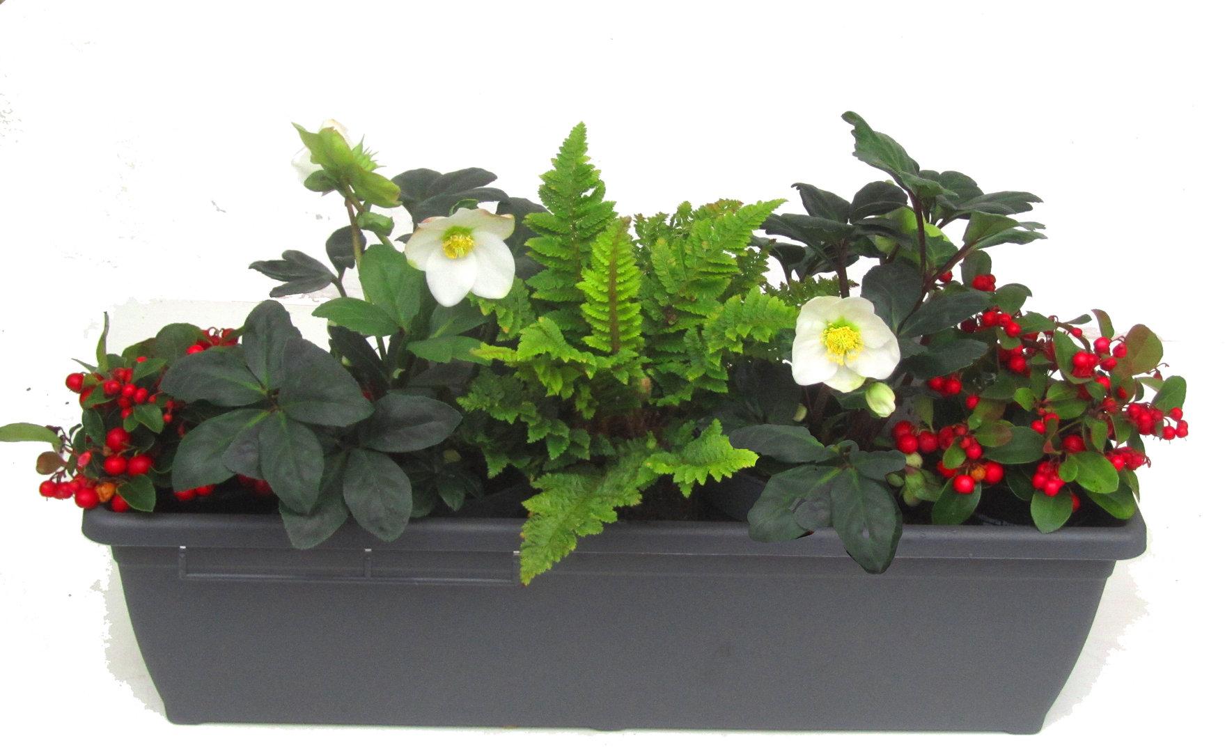 edles balkonpflanzen set f r balkonk sten 60 cm lang pflanzen versand harro 39 s pflanzenwelt. Black Bedroom Furniture Sets. Home Design Ideas