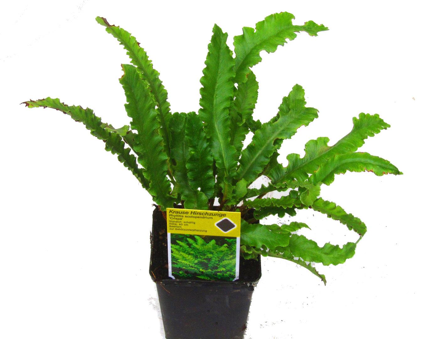 asplenium scolopenrium crispum krauser hirschzungenfarn pflanzen versand harro 39 s pflanzenwelt. Black Bedroom Furniture Sets. Home Design Ideas